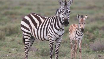 Argentina se convirtió en el primer país en clonar cebras