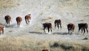 Las cenizas del volcán Calbuco sigue golpeando a la ganadería