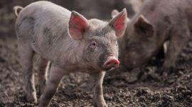 Sacrifican miles de cerdos por el brote de peste porcina africana en República Dominicana