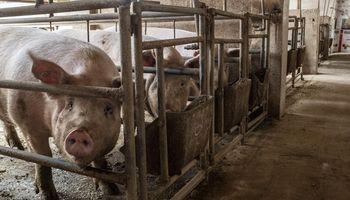Nueva oportunidad para el cerdo argentino: se expande la gripe porcina en Vietnam