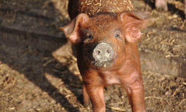 Los cerdos cordobeses, felices.