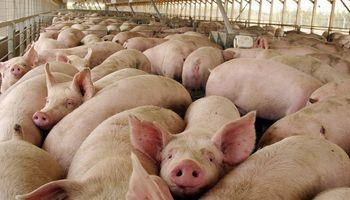 Se profundizan los márgenes negativos de las granjas de cerdos