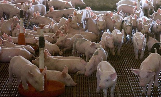 El productor de cerdos tiene un costo de 44 pesos por kilo.