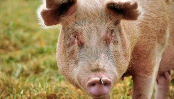 La producción de carne de cerdo creció y hay sobrestock por importaciones