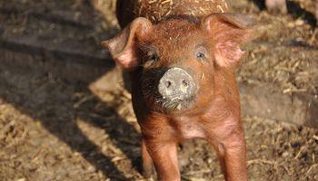 Identifican la composición del virus de la peste porcina africana