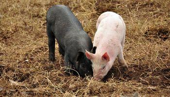 Porcinos: la situación del sistema agroalimentario argentino