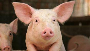Edición génica: lograron inactivar genes que rechazan los órganos del cerdo en humanos