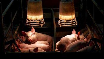 Cadena del cerdo analiza cómo enfrentar las importaciones desde EE.UU.