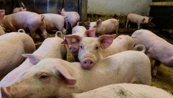 A pesar del crecimiento de la producción, Argentina enfrenta un déficit en carne porcina