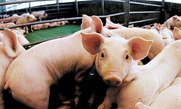 600 madres porcinas aportan su producción.
