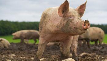 Fuertes subas para los futuros de cerdo en China por los brotes de peste porcina africana