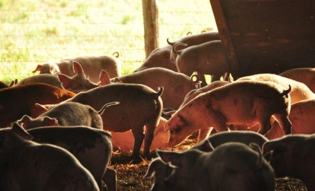 Avanza la producción de carne de cerdo.