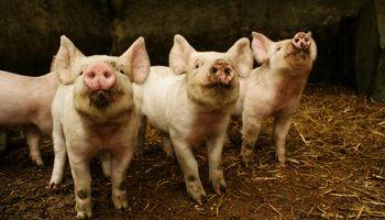 Peste porcina africana: Argentina refuerza los controles ante la presencia de casos en América