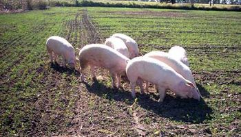 Promueven ajustar la cadena de valor de la producción porcina