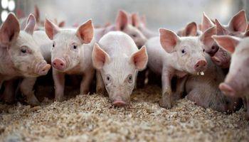 Cerdos: el negocio muestra algunas señales positivas en el 2019