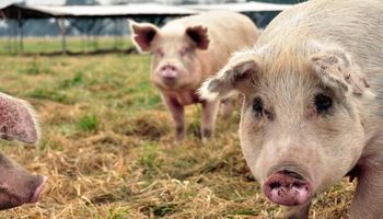 China confirmó un nuevo brote de fiebre porcina