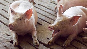 Cerdo: una campaña busca frenar la inversión china en Argentina