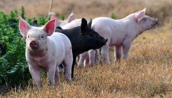 Diputados en defensa del sector porcino