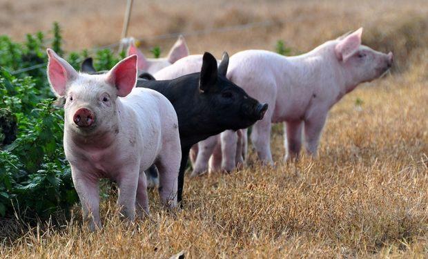 Cerdos en Argentina