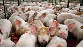 Cerdo: ingenieros agrónomos enumeraron las 6 condiciones para la mega inversión china en Argentina