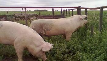 Porcinos rumbo a las 500.000 toneladas