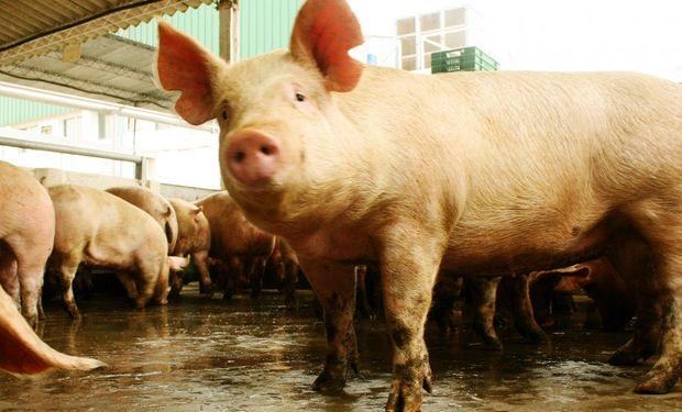 Confiscaron 150 cerdos por brote de triquinosis en Córdoba