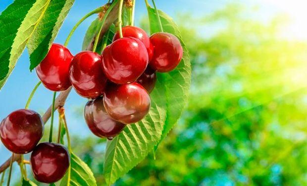 Las cerezas suben sus ventas al exterior año tras año