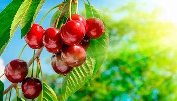 Prevén una cosecha récord de cerezas en Argentina