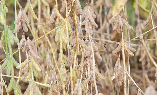 La soja comenzó la semana con subas