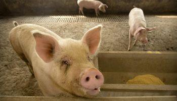 La producción de carne de cerdo de China recuperó los niveles previos a la peste porcina africana