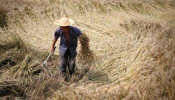 China reveló en qué año espera ser autosuficiente en trigo y arroz