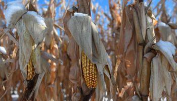 Récord: China se anotó una histórica compra de maíz norteamericano