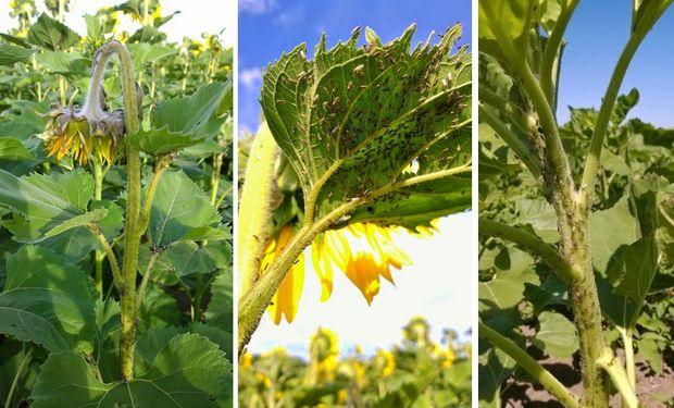 No hay estudios sobre el impacto de esta plaga en la producción de girasol, pero es probable que pueda generar los mayores daños desde la antesis y en la formación de la semilla.