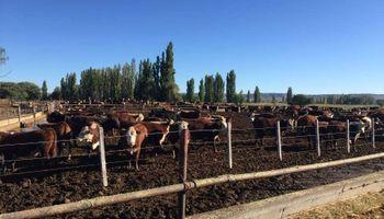 Avanzan con un cluster de ganado vacuno en Chubut