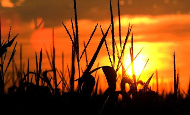 Los granos finalizaron la rueda de Chicago en terreno negativo, siendo las mayores bajas porcentuales para los contratos de maíz.