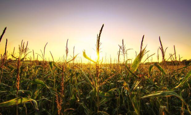 En Chicago el maíz cerró en terreno positivo, aunque finalizá la semana con pérdidas.