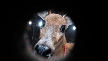 Rescatan a un ciervo de los pantanos que cuidó durante meses un productor