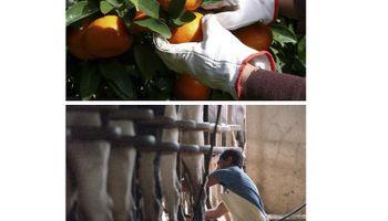 Entre Ríos: nuevo financiamiento para productores citrícolas y tamberos