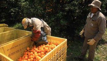 La producción citrícola se muere en el NEA y no por causas naturales
