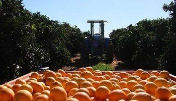 Cítricos: unos 80 millones de kilos quedarían sin cosechar