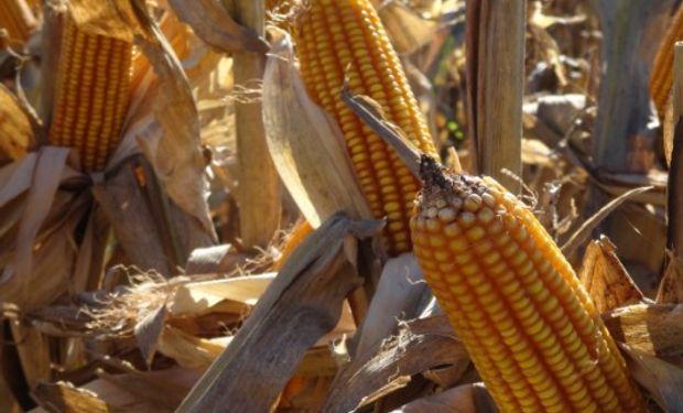 Valor del maíz cayó un 3,8% ayer en Chicago.