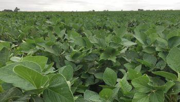 Soja y maíz: cuál es la condición de los cultivos en la recta final de la siembra