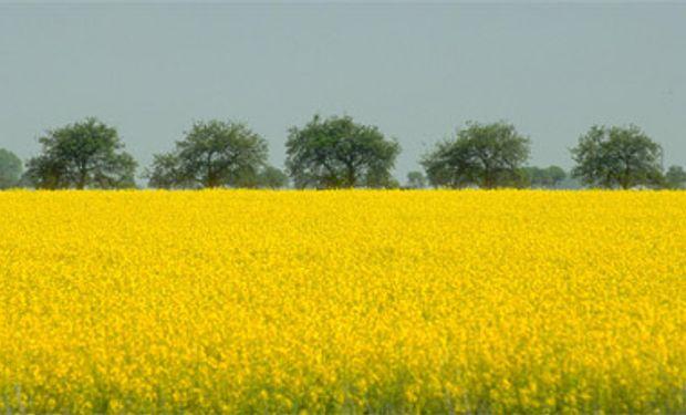 Colza y arveja, dos buenas alternativas al trigo