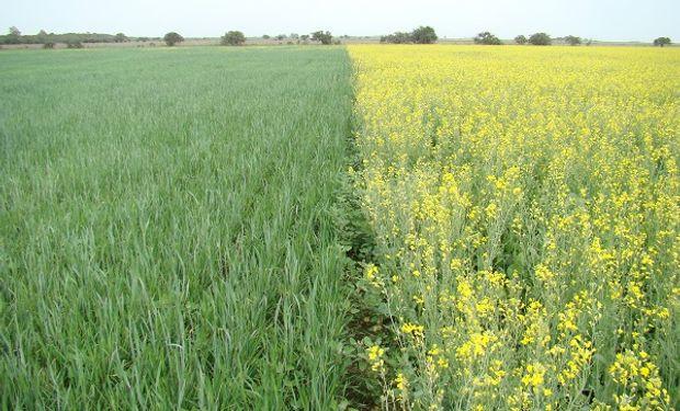 Avanza la colza y retrocede el trigo en Uruguay: los factores que motivan esta decisión