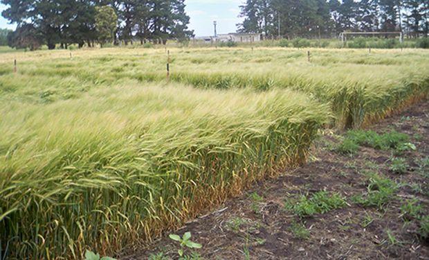 Ante la falta de variedades con resistencia, investigadores del INTA Balcarce y Bordenave estudiaron el efecto de la aplicación con fungicida mezcla de carboxamida y estrobilurina en distintos estadios de desarrollo del cultivo de cebada.