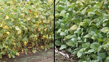 La rotación, clave contra enfermedades en soja