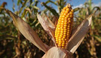 China acelera compras y sube el maíz en Chicago: cuánto se pagó en Rosario