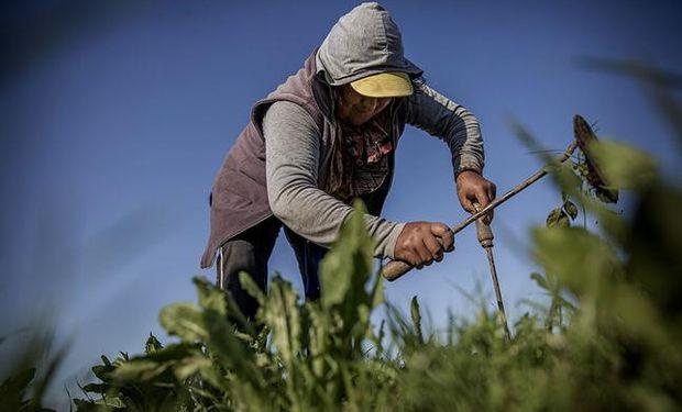 Mucho del trabajo en las quintas es manual, lo que requiere horas de esfuerzo. Fuente: La Nación.