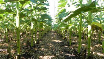 En el sudeste, el girasol le gana al maíz y a la soja