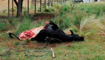 """Carnearon a """"Porota"""", una vaca con la que experimentaban desde el Conicet"""